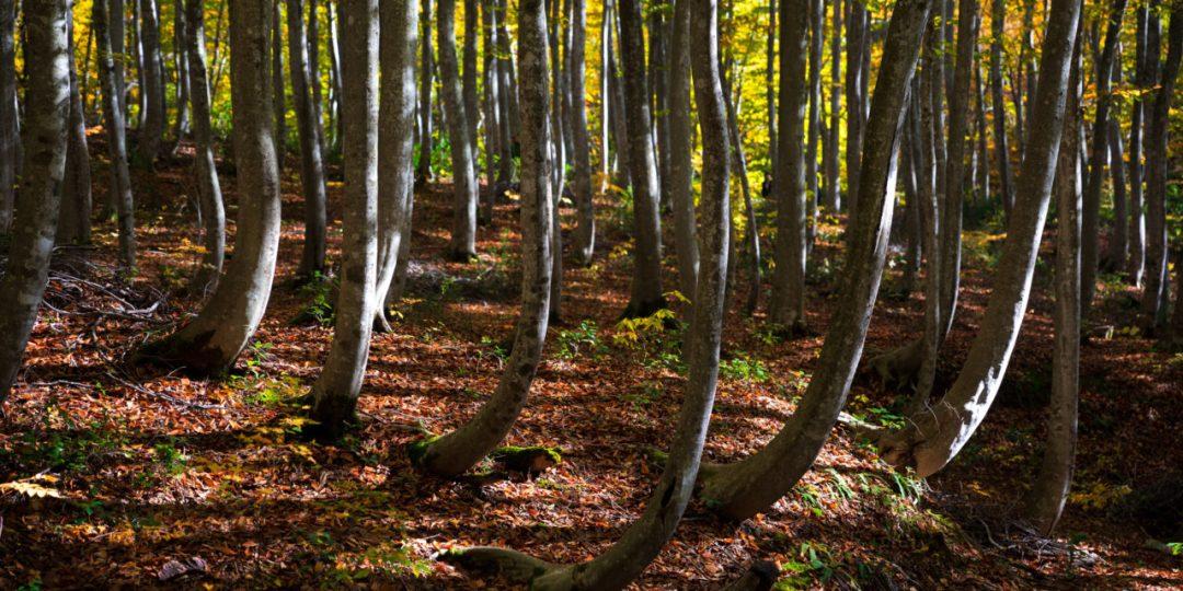 Bijin Bayashi Forest (美人林)